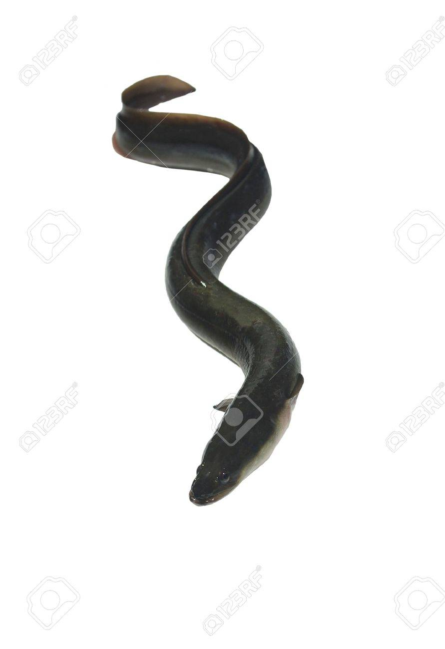 long eel on white background - 7527236