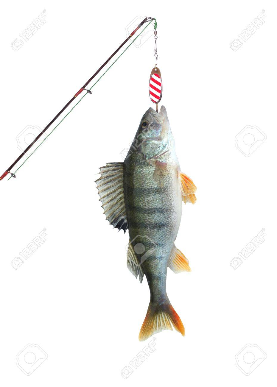 perch on fishing-rod on white background stock photo, picture and, Fishing Rod