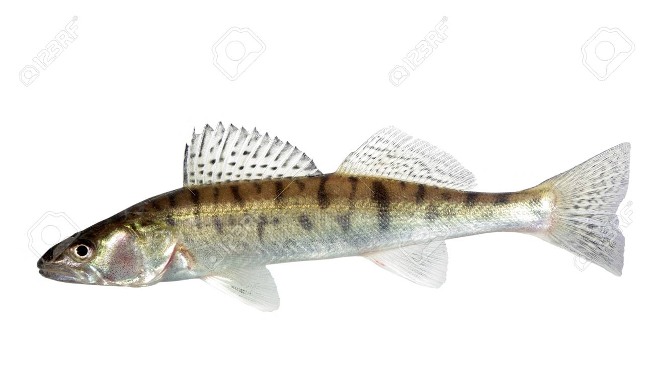 long zander on white background Stock Photo - 8273893