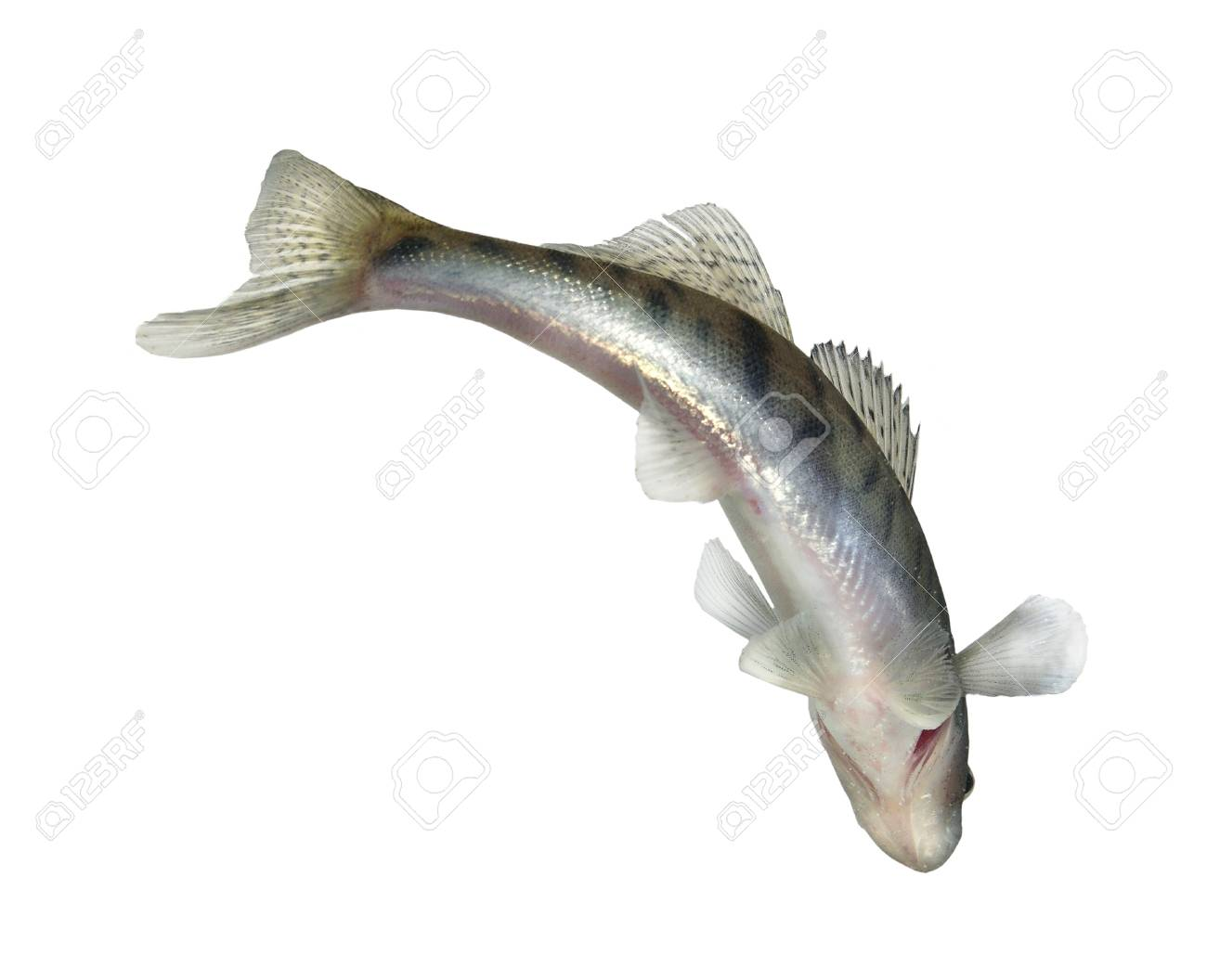 long alive zander on white background Stock Photo - 8273892