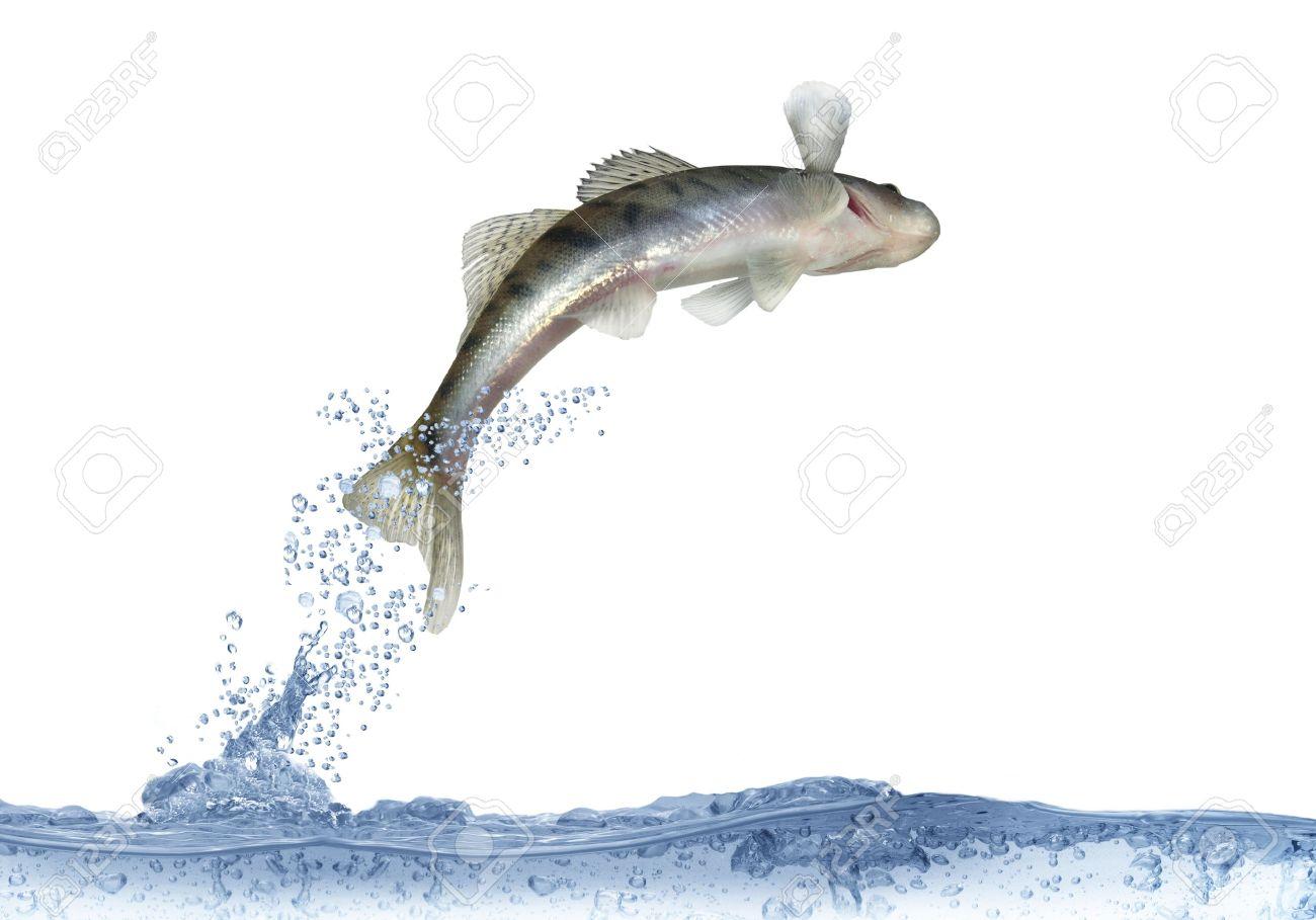 Freshwater fish jumping - Stock Photo Long Zander On White Background