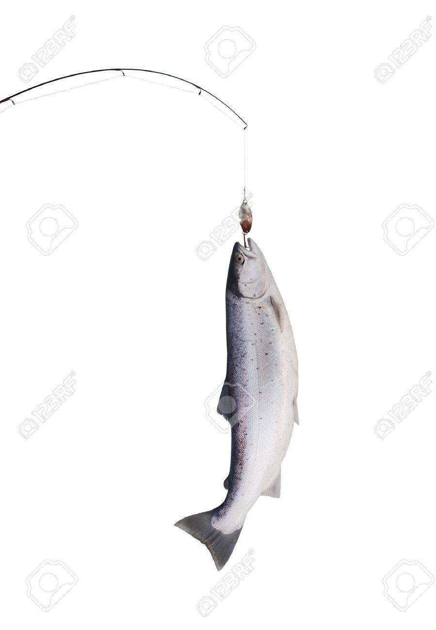 big salmon on fishing-rod on white background Stock Photo - 12599314