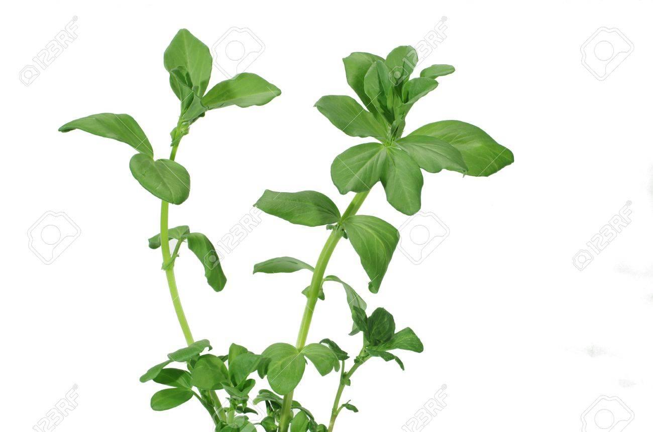 growing broad bean - 12898182