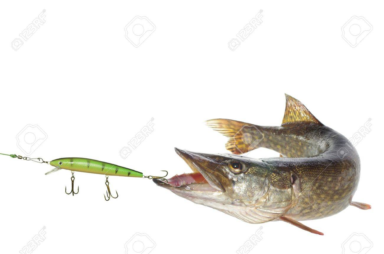 long pike and artificial bait on white background - 14408487