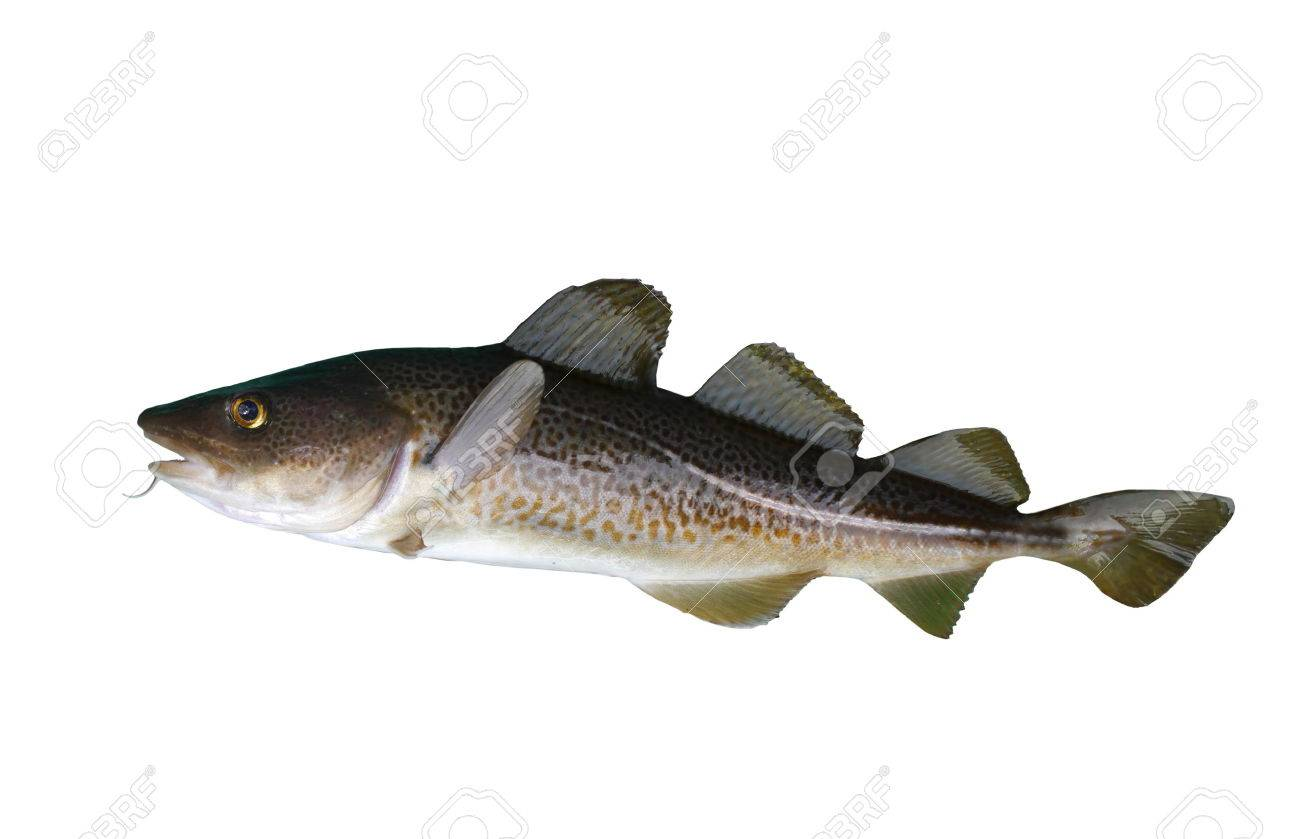 big cod fish on a white background - 24162672