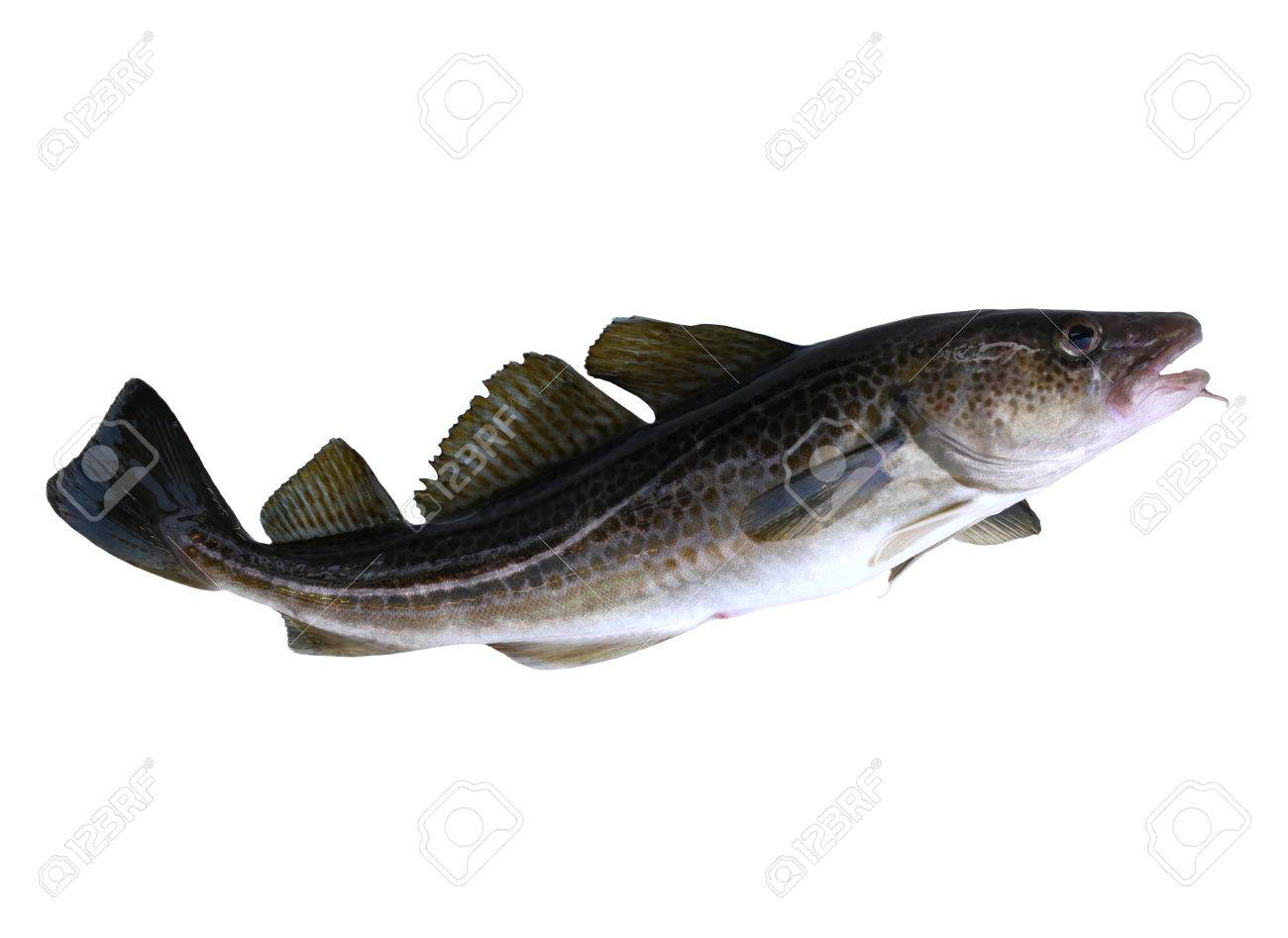 big cod fish on a white background - 33015615