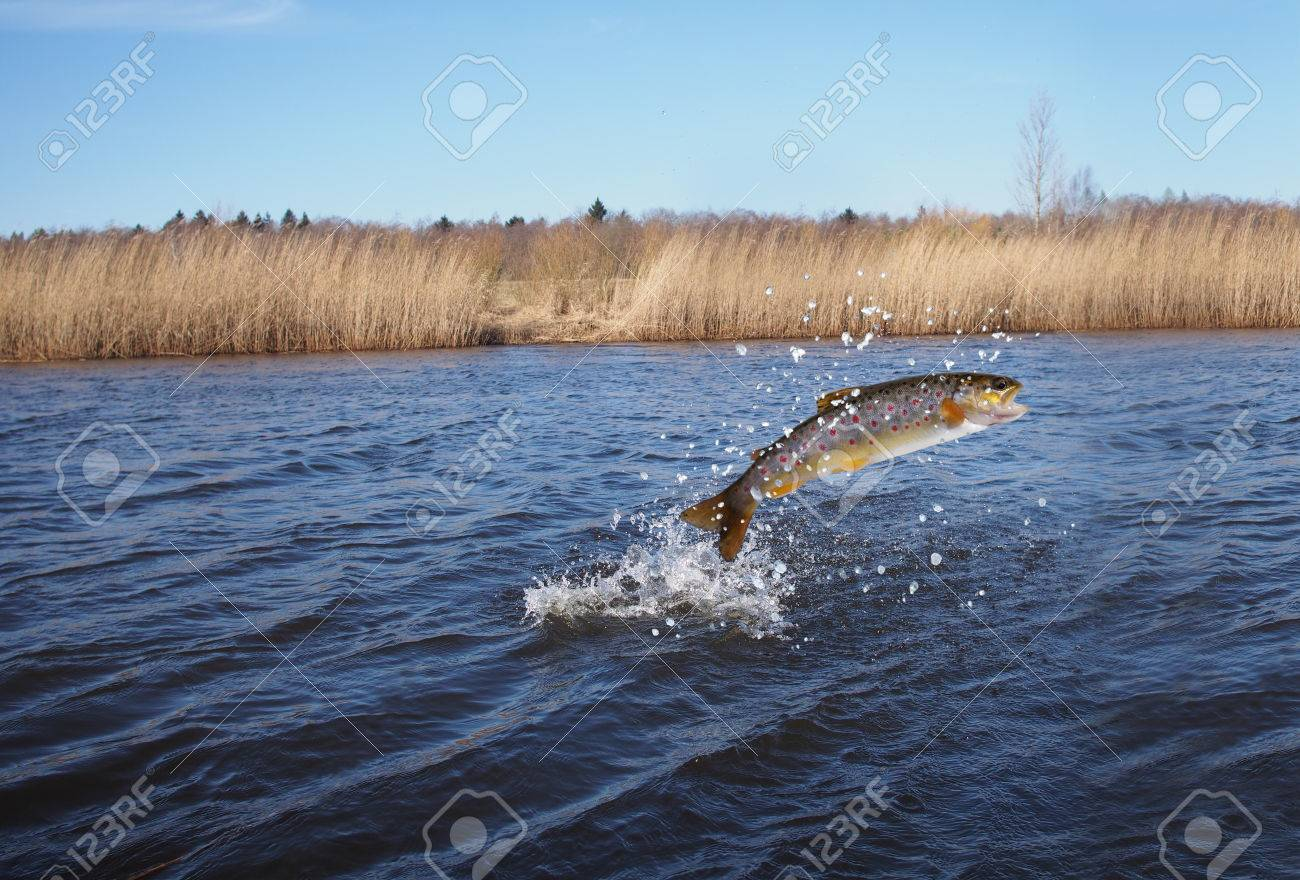 jumping out from water salmon on river background - 39032722