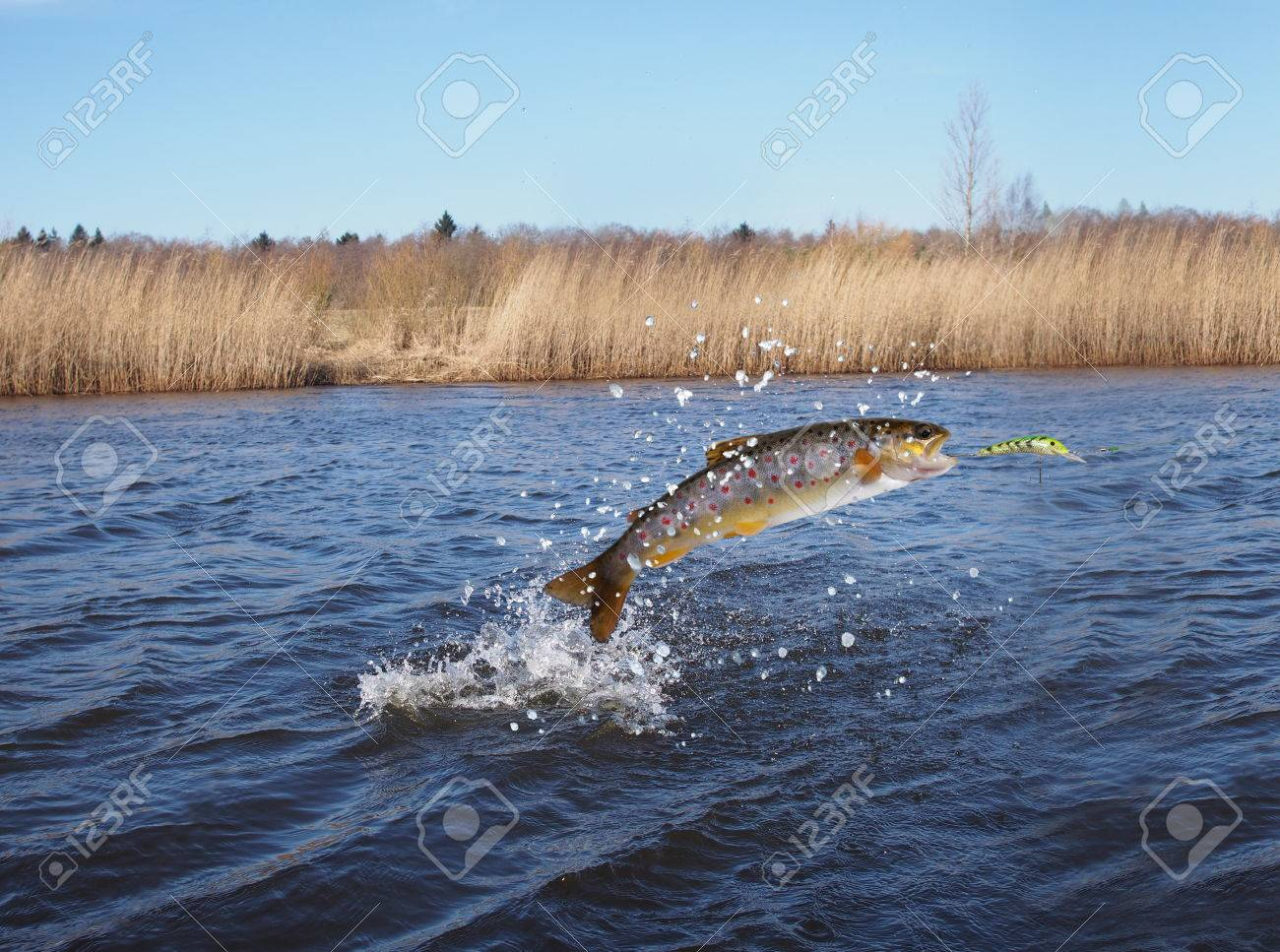 jumping out from water salmon on river background - 39046369