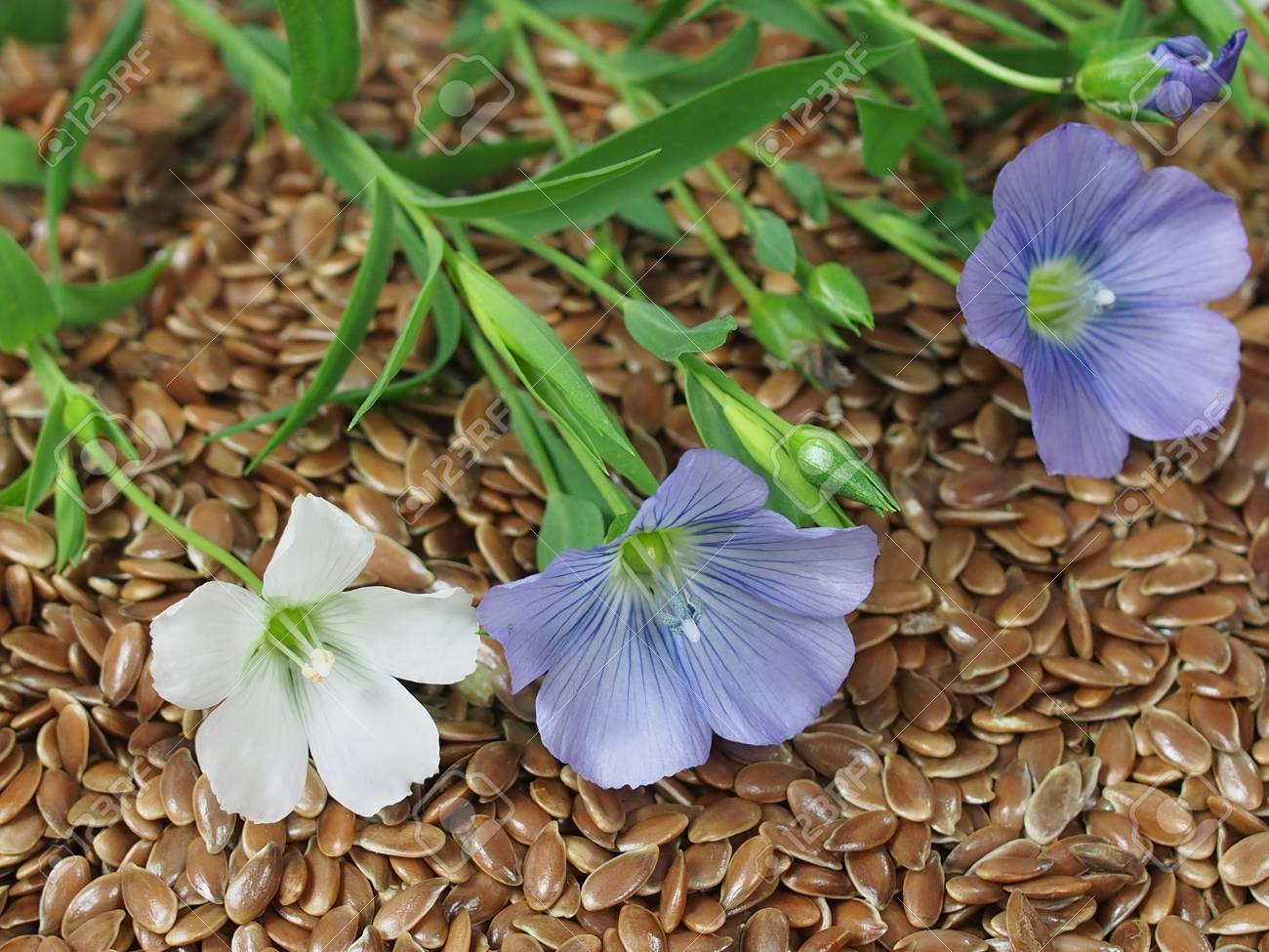 The plant of flax with blue flowers on seeds stock photo picture stock photo the plant of flax with blue flowers on seeds izmirmasajfo