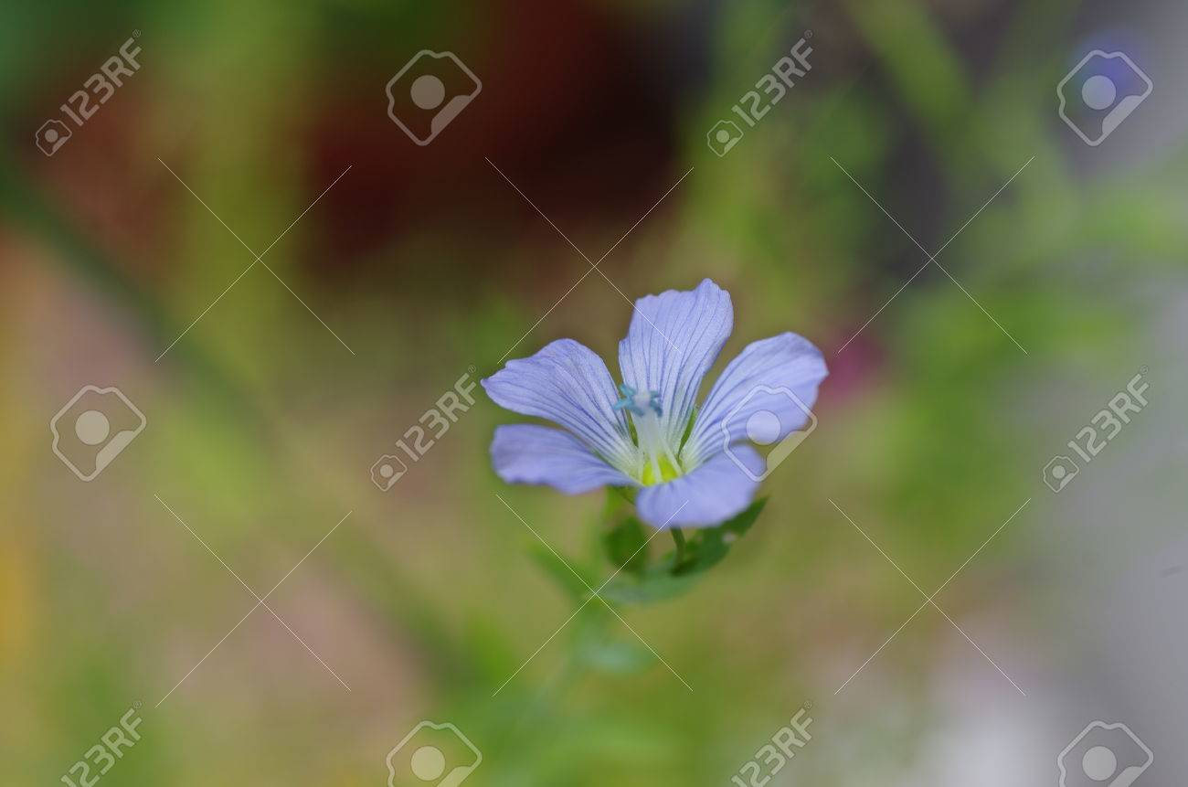 The plant of flax with blue flower stock photo picture and royalty stock photo the plant of flax with blue flower izmirmasajfo