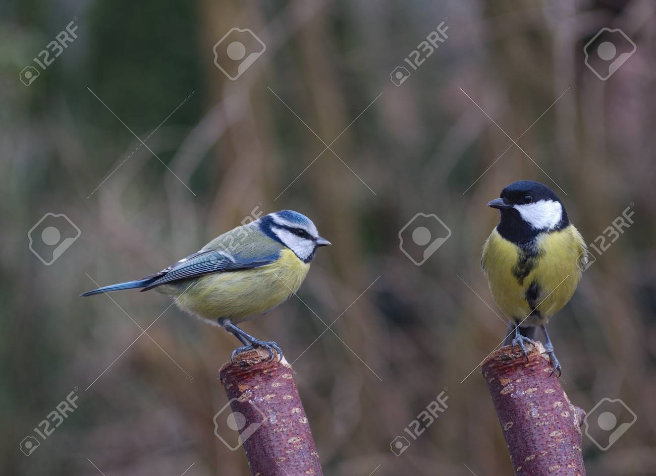 Two Bird Tit On Tree Background Stock Photo, Picture And Royalty