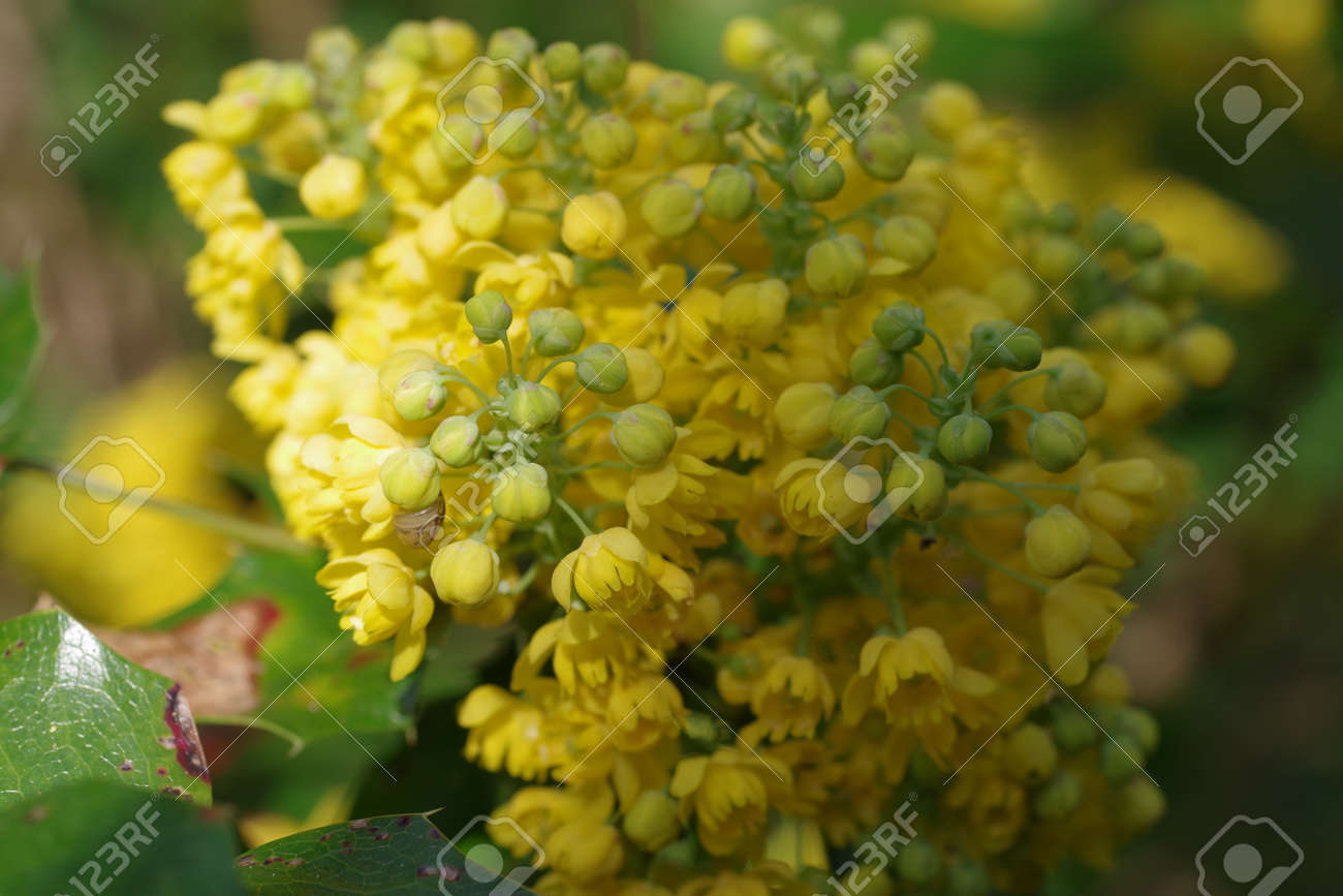 Mahonia aquifolium oregon grape with yellow flowers - 165890069