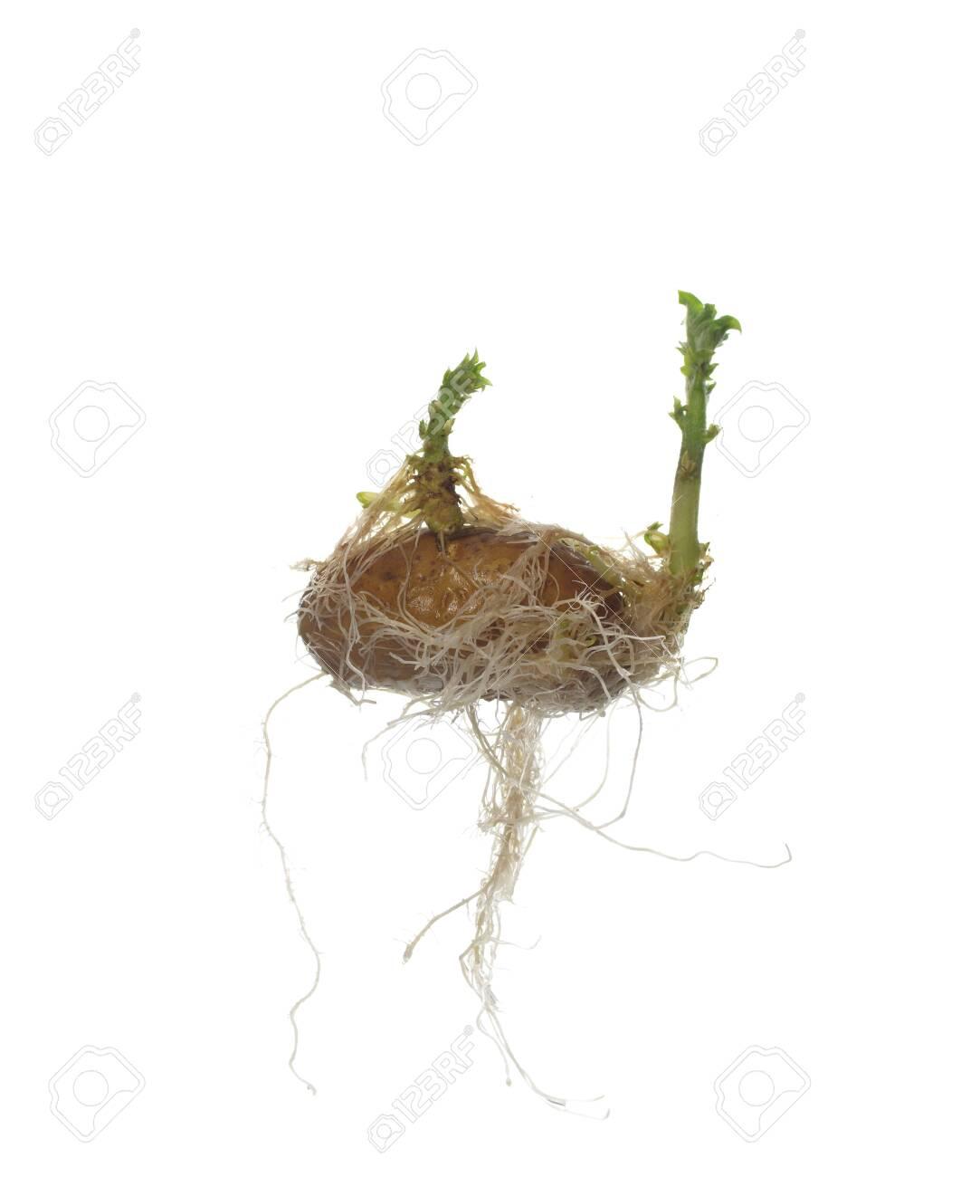 germinating potato on white background - 140085595