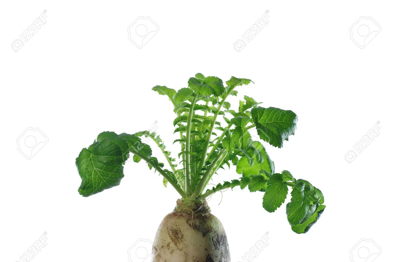 white radish with green leaves on white background - 143401479
