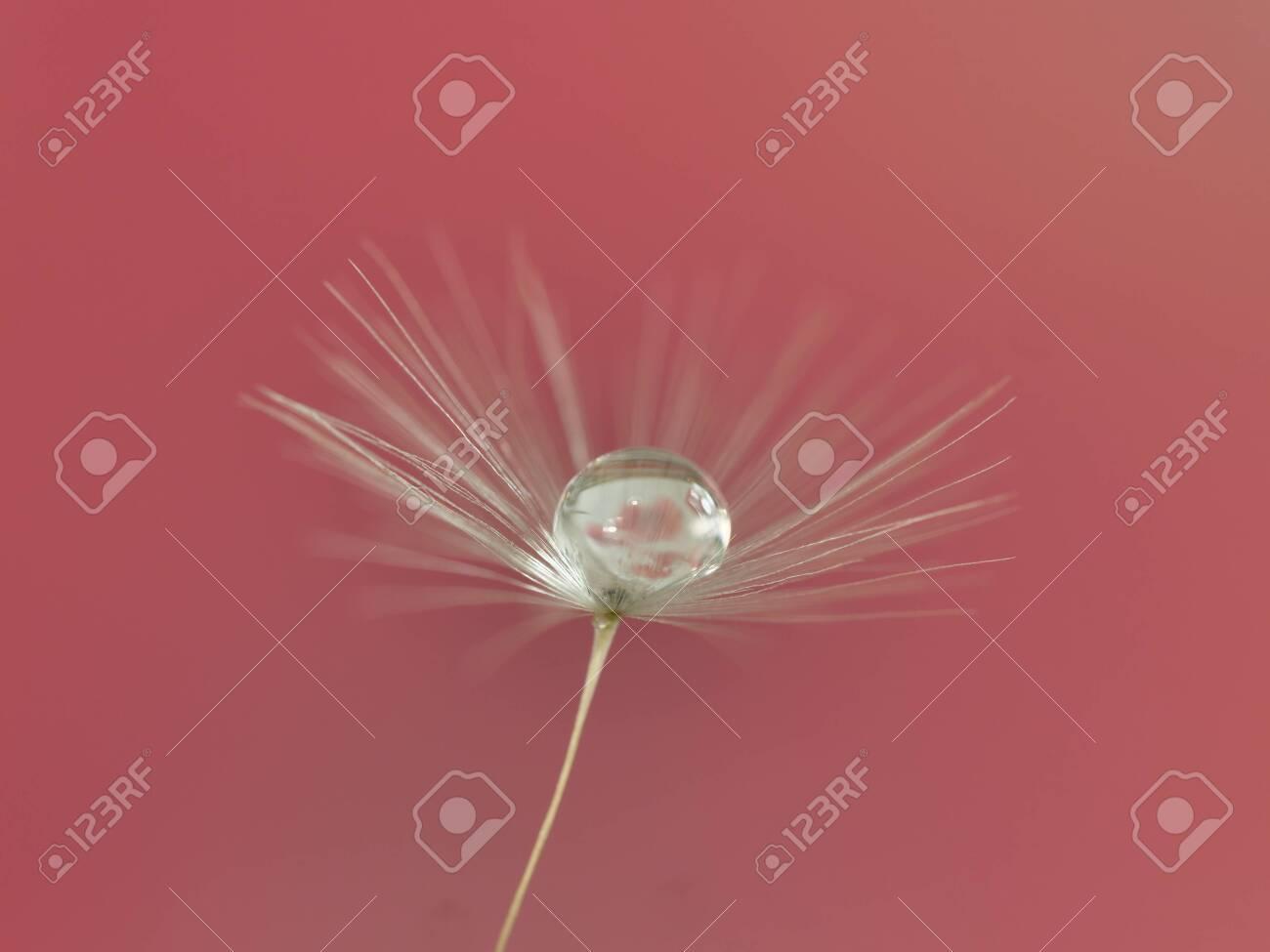 dandelion seed with water droplets macro - 146682448