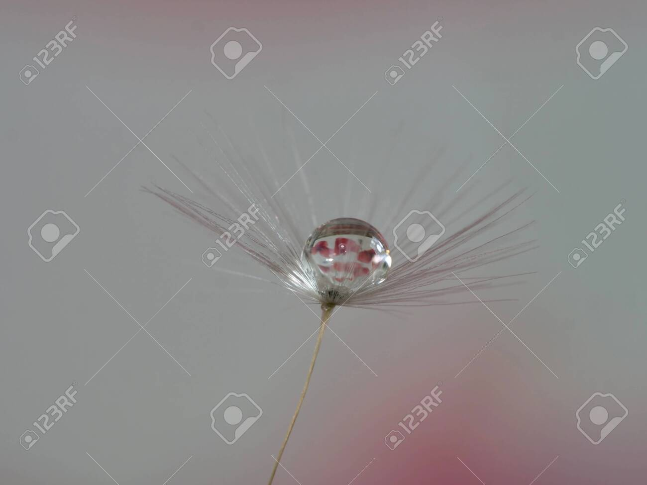dandelion seed with water droplets macro - 146682771