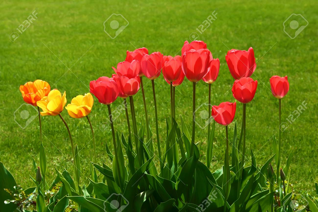 Tulips On A Green Meadow Yellow And Red Flowers On A Green