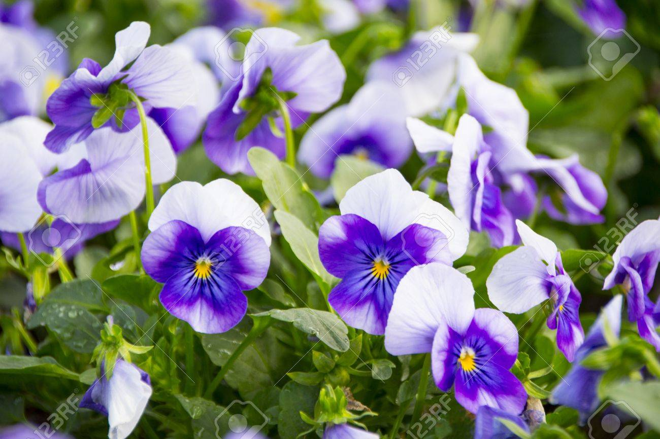 The Small Violet White Flower Look Like A Butterfly Stock Photo