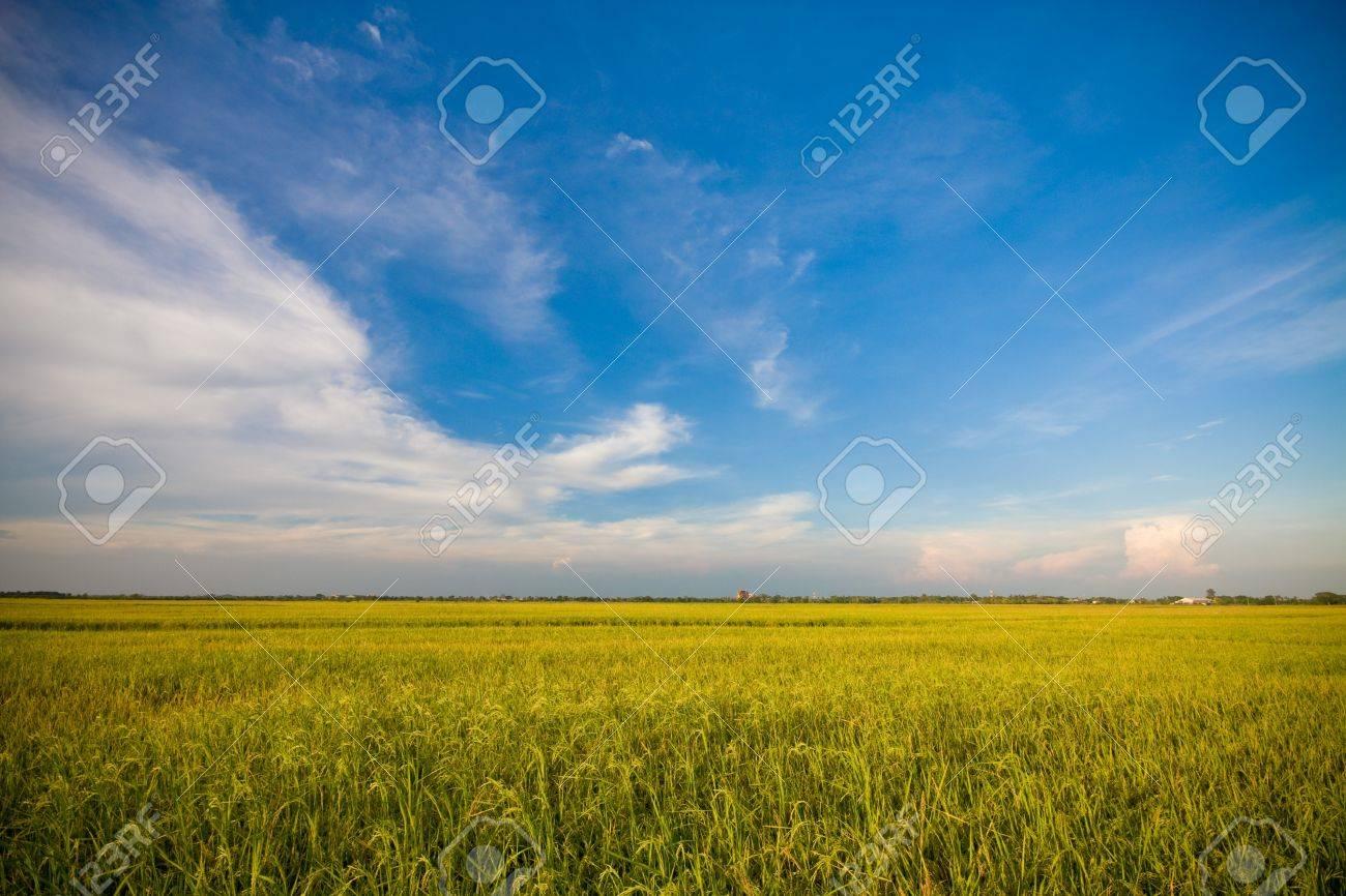 RiceGrass Stock Photo - 9424781