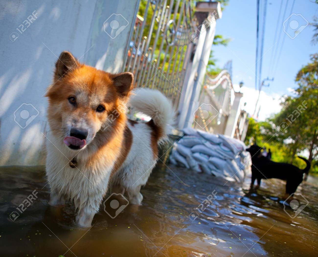 dog looking on overflowing waters of river, natural disaster - 10985124