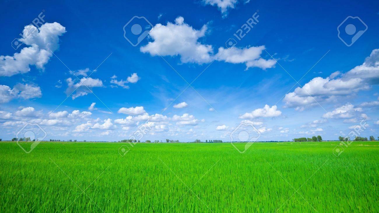 Rice field green grass blue sky cloud cloudy landscape - 20463556