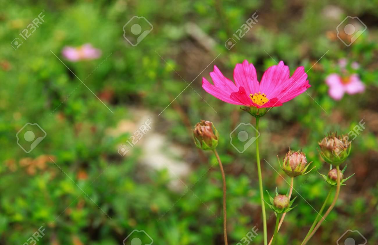 the thailand beautiful flower in garden Stock Photo - 15058313