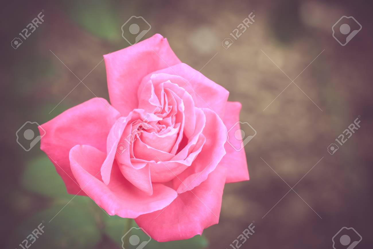 Beautiful rose flower in the garden retro color tone stock photo beautiful rose flower in the garden retro color tone stock photo 35475155 izmirmasajfo