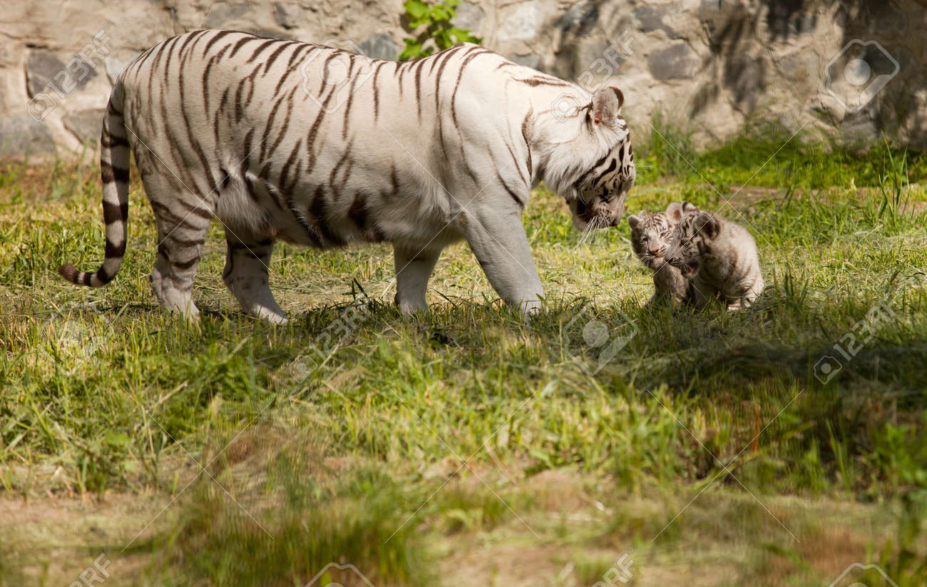 white tiger with her baby animals Stock Photo - 9743553