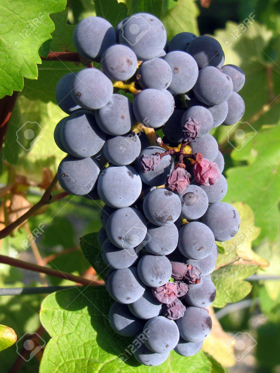 Bunch of ripe grapes Stock Photo - 6770333