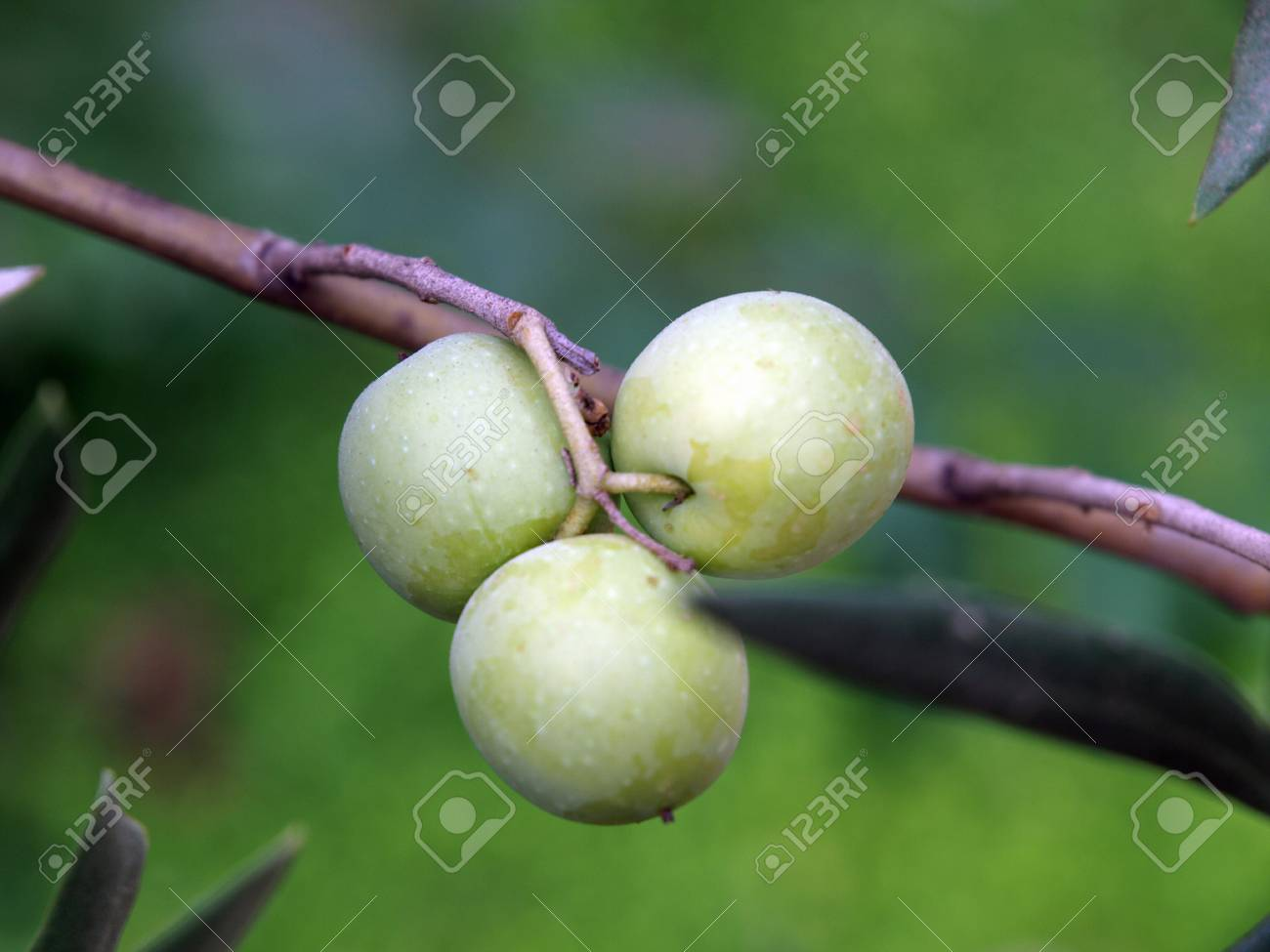 An olive branch with ripe olives symbol of health and peace stock an olive branch with ripe olives symbol of health and peace stock photo 12613825 buycottarizona Choice Image