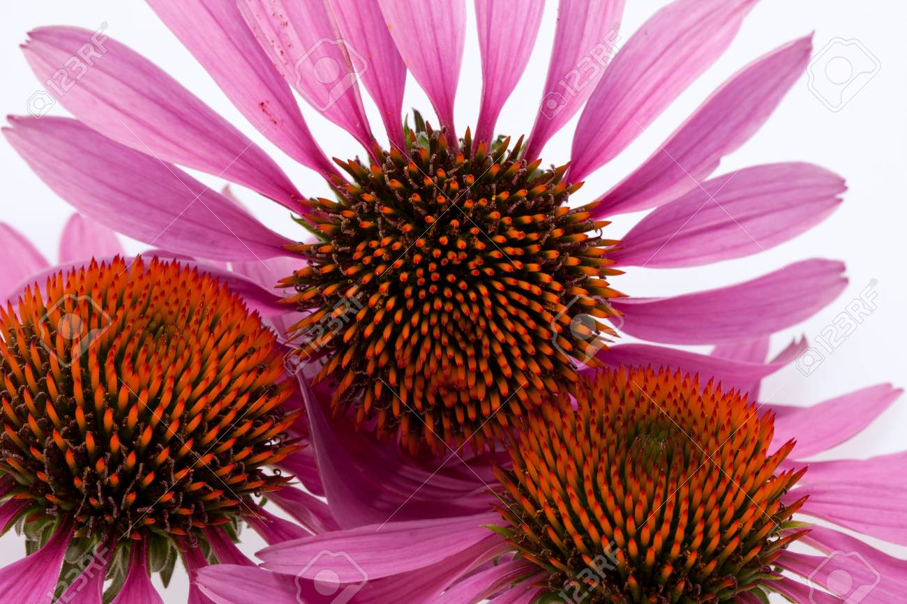 Pink coneflower head, isolated on white background Stock Photo - 14499298