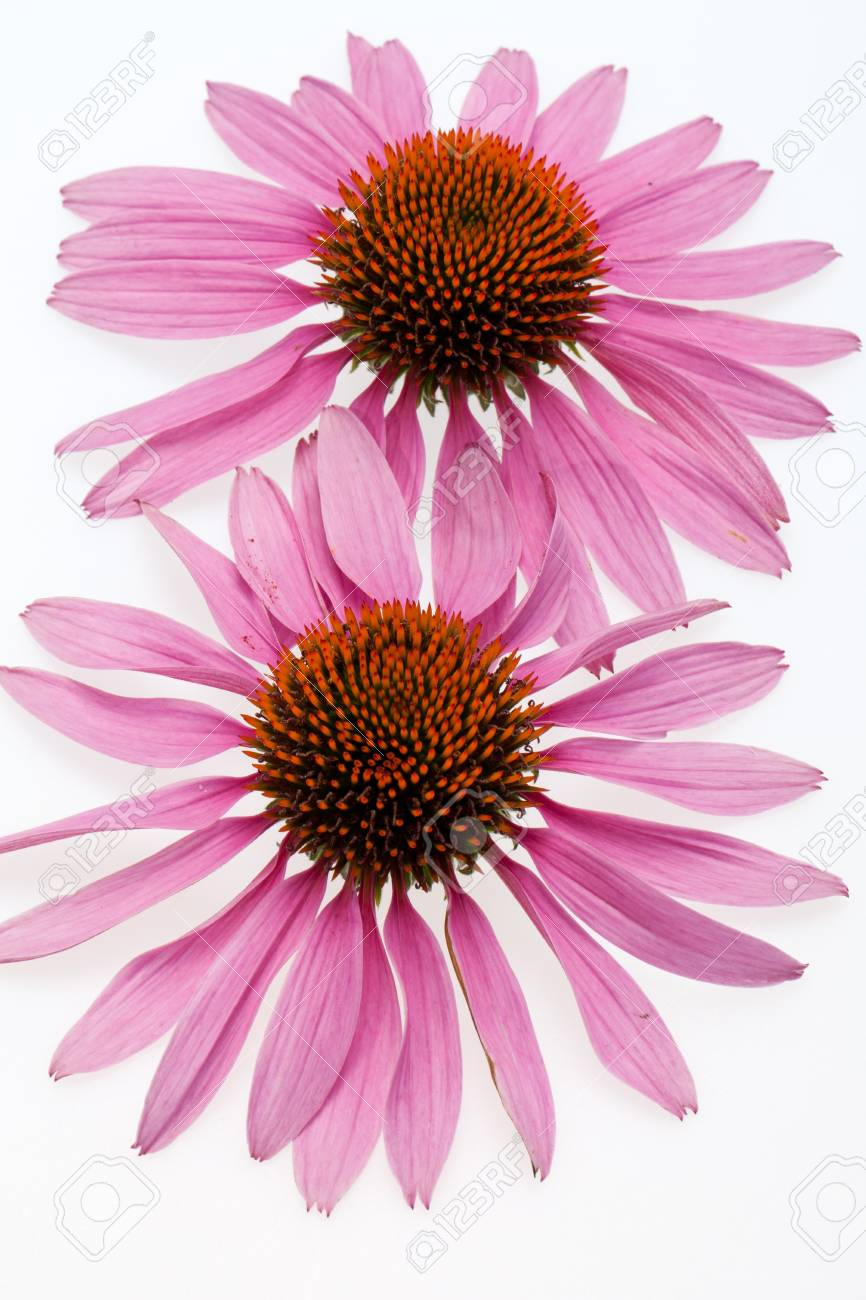 Pink coneflower head, isolated on white background Stock Photo - 14549395