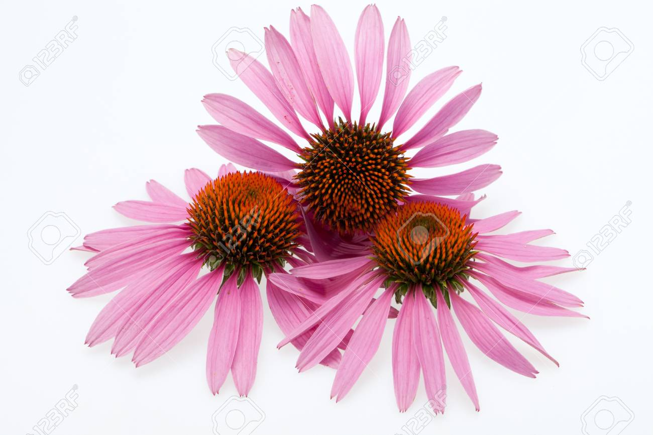 Pink coneflower head, isolated on white background Stock Photo - 15444588