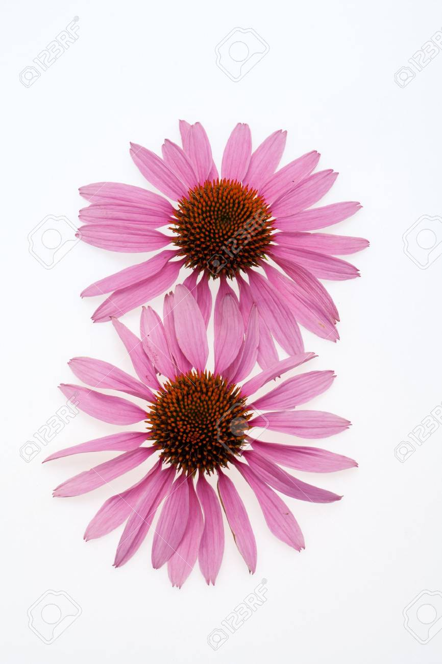Pink coneflower head, isolated on white background Stock Photo - 16574689