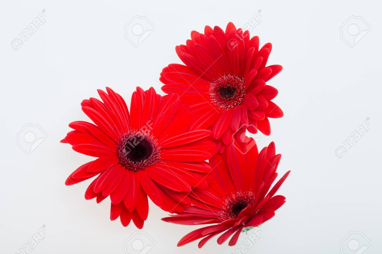 Red Gerbera Daisy Flower Stock Photo, Picture And Royalty Free Image ...
