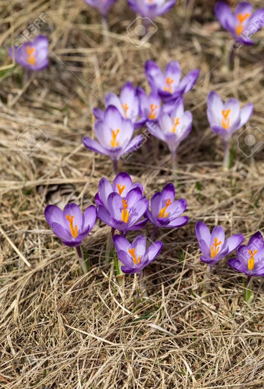 Krokusse Auf Der Wiese Erste Fruhlingsblumen Lizenzfreie Fotos