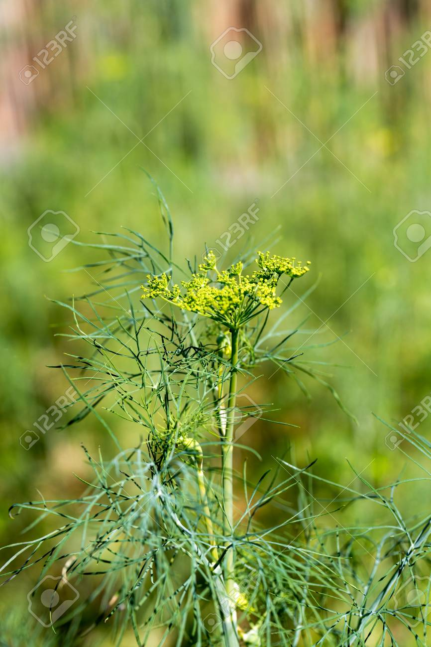 Close Up Of Fresh Dill In Garden Stock Photo   69721178