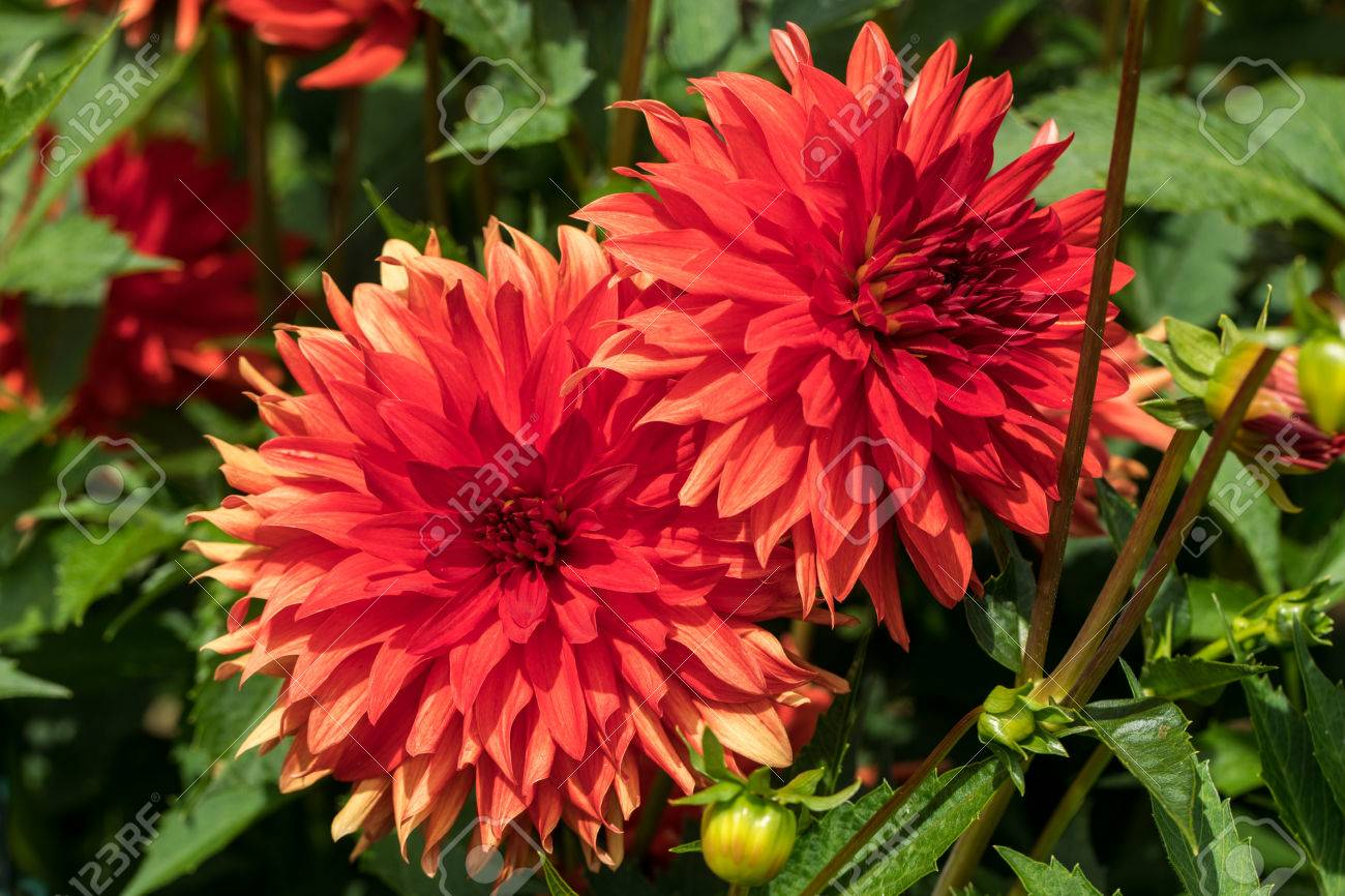 Head Of Red Dahlia Flower In Summer Garden Stock Photo Picture And