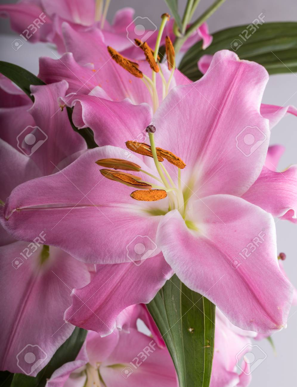Close Up Of Pink Liles Flowers Common Names For Species In Stock
