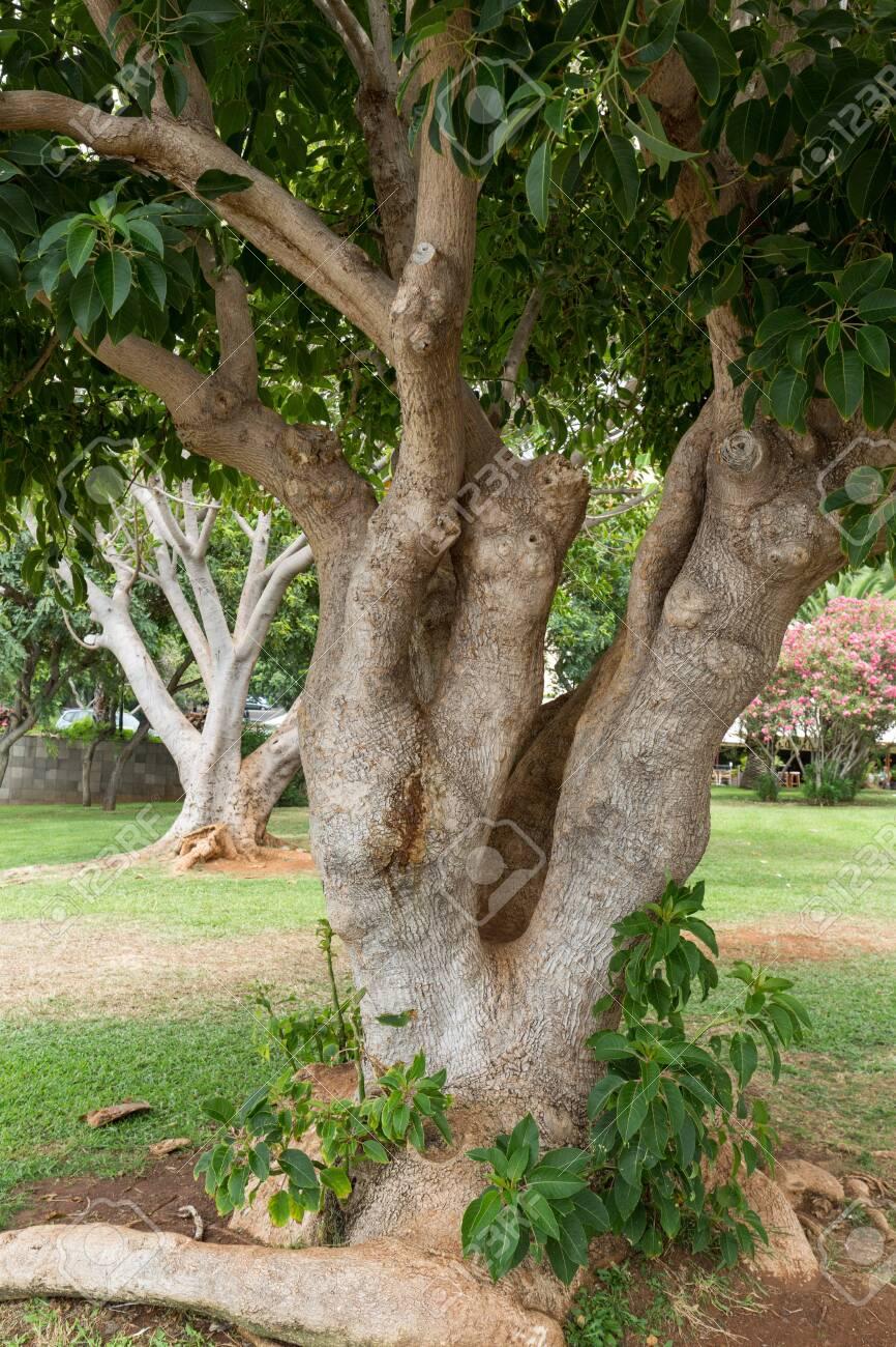 Southern Magnolia Magnolia Grandiflora Old Magnolia Tree In
