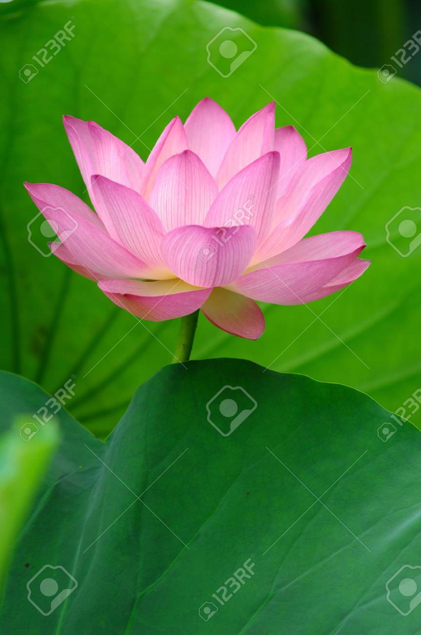 blooming lotus flower over green background. Stock Photo - 5103199