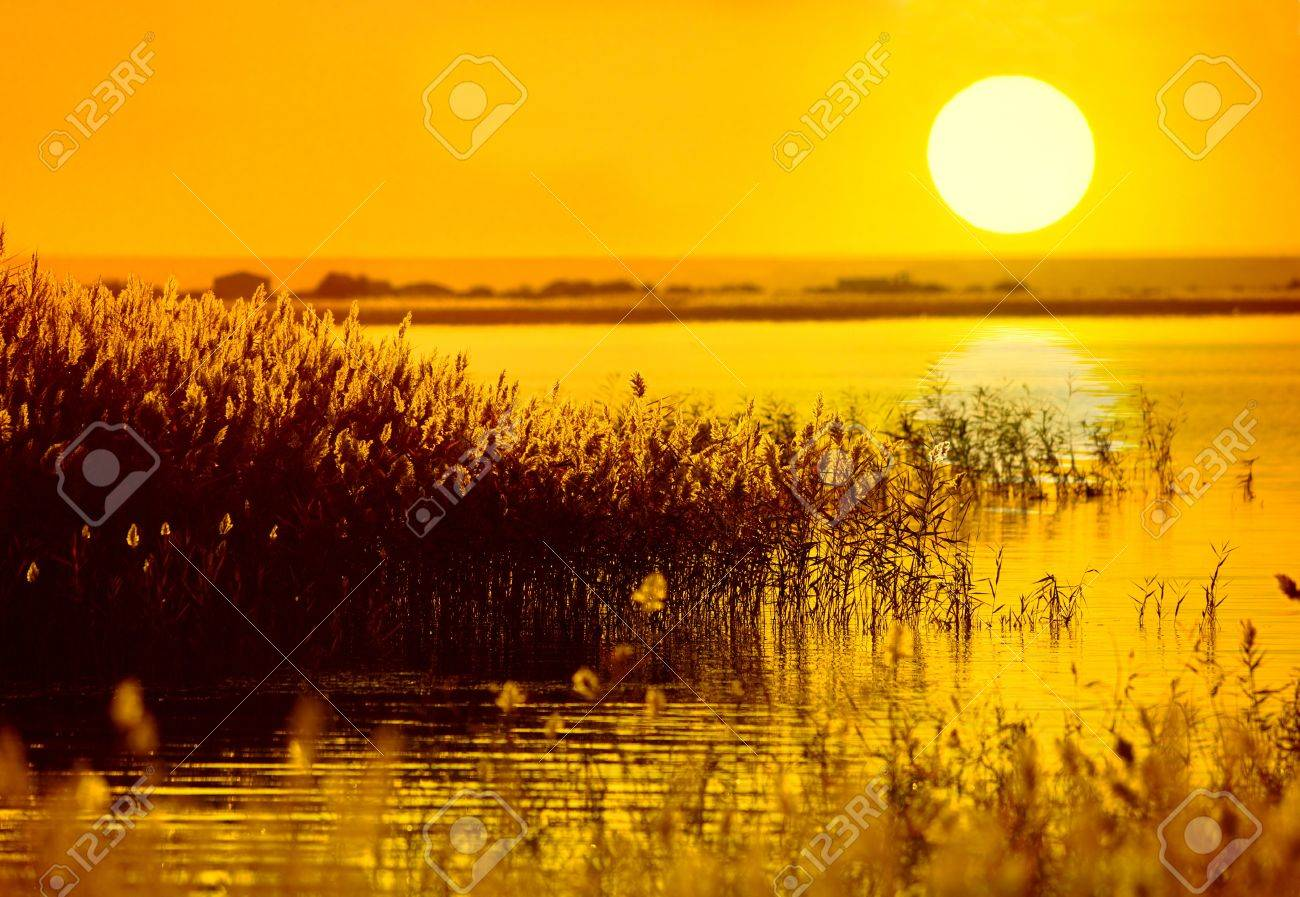 reed stalks in the swamp against sunlight. Stock Photo - 8272429