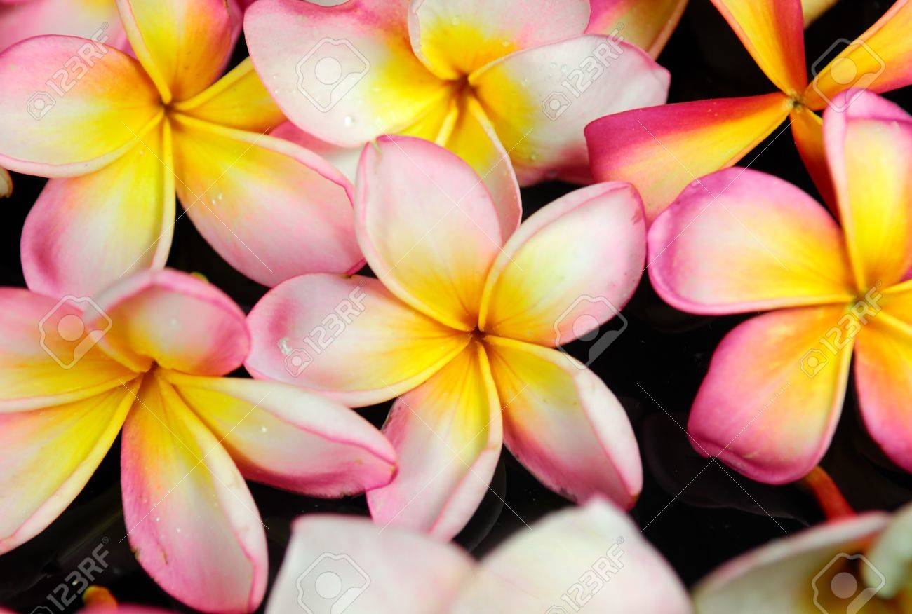 frangipani or plumeria tropical flower Stock Photo - 8310308