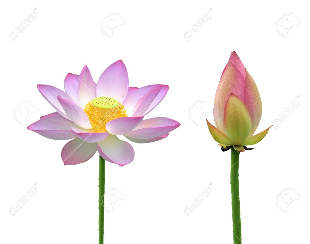 Lotus Flower Stock Photo Picture And Royalty Free Image Image 9782204