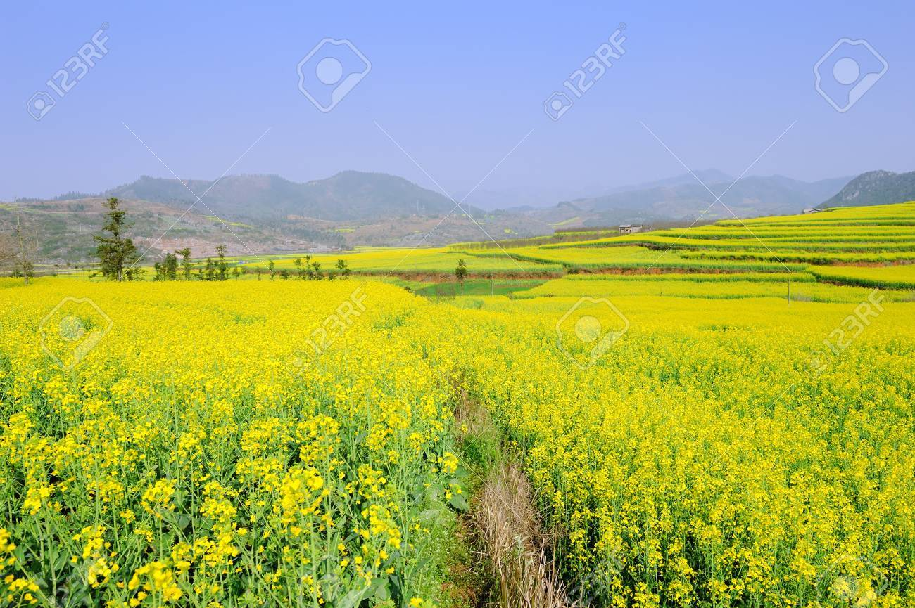 Rapeseed field in summer with blue sky Stock Photo - 11133963