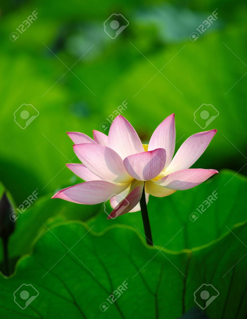 A Blooming Lotus Flower With Yellow Seed Head Stock Photo Picture