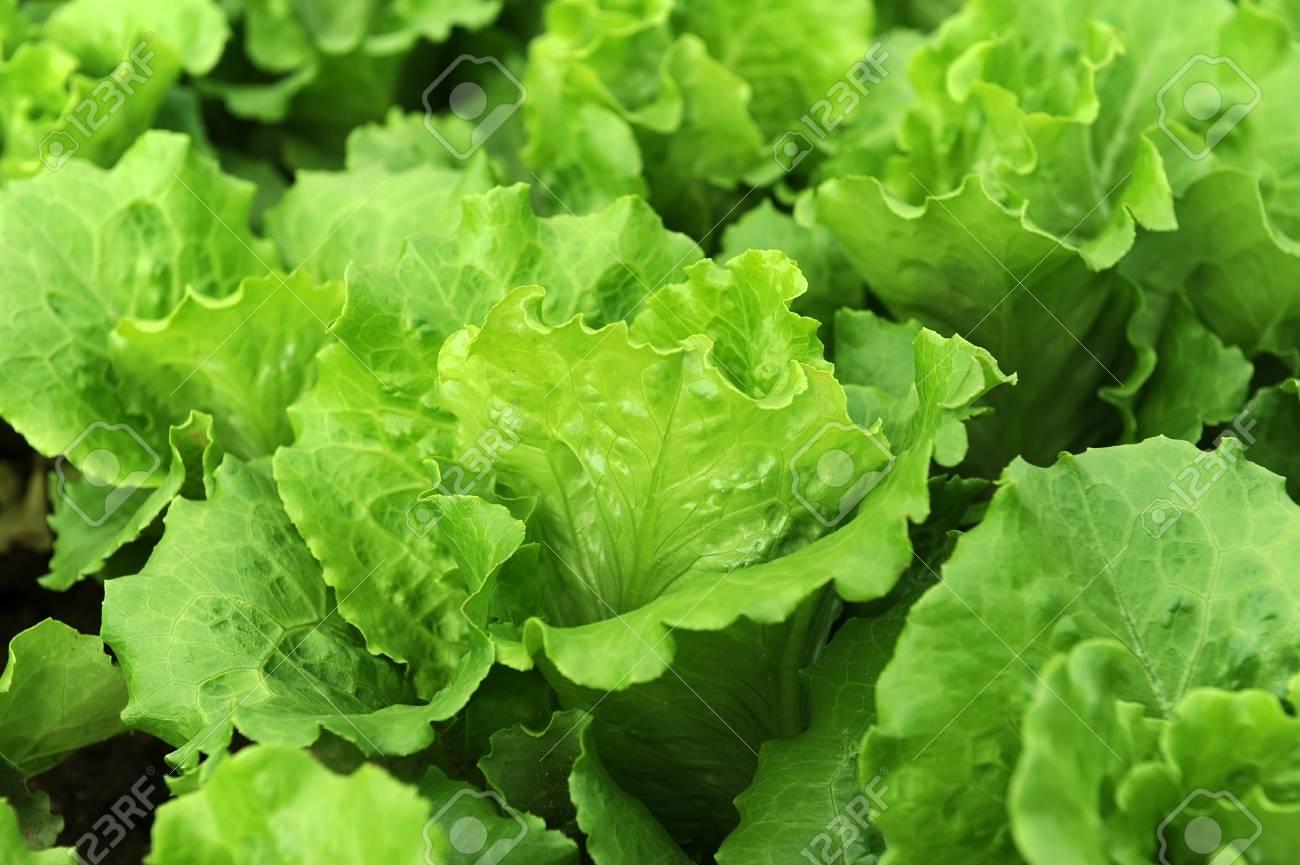 lettuce plant in field Stock Photo - 14591342