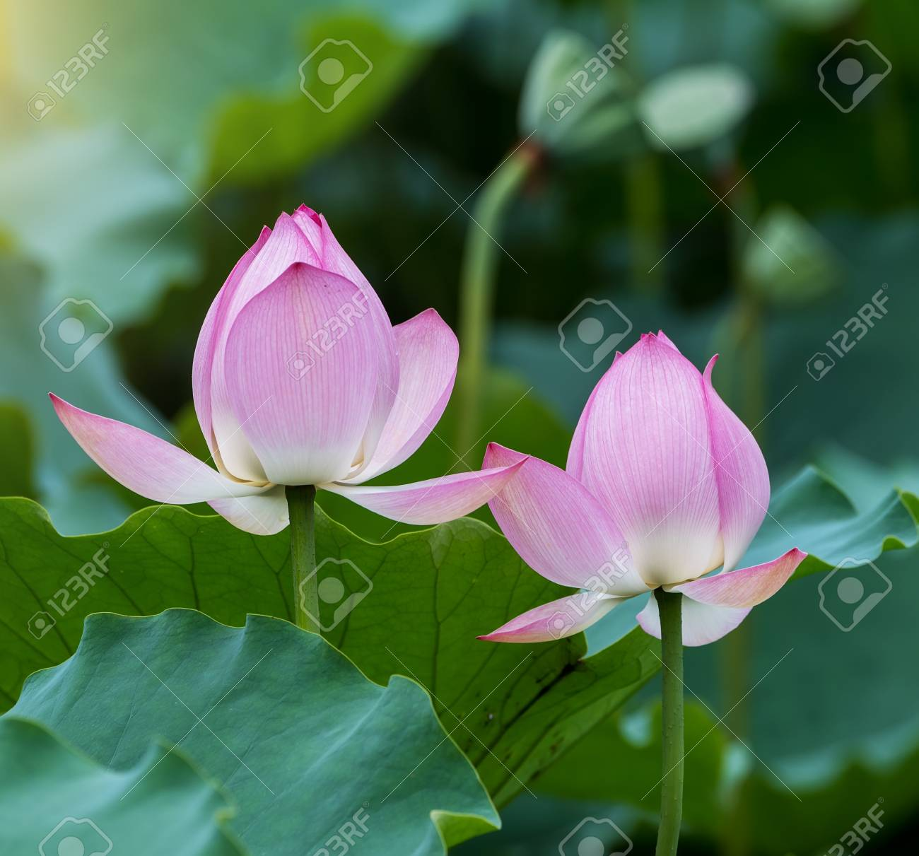 Blooming lotus flower stock photo picture and royalty free image blooming lotus flower stock photo 57733550 izmirmasajfo