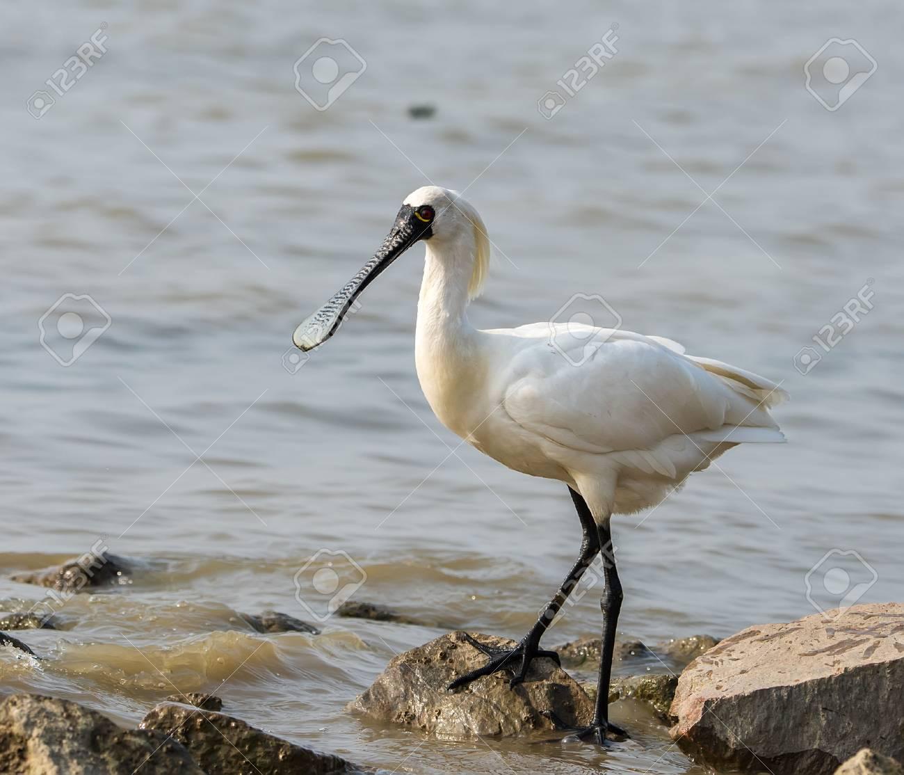 Black-faced Spoonbill in waterland. - 64998990