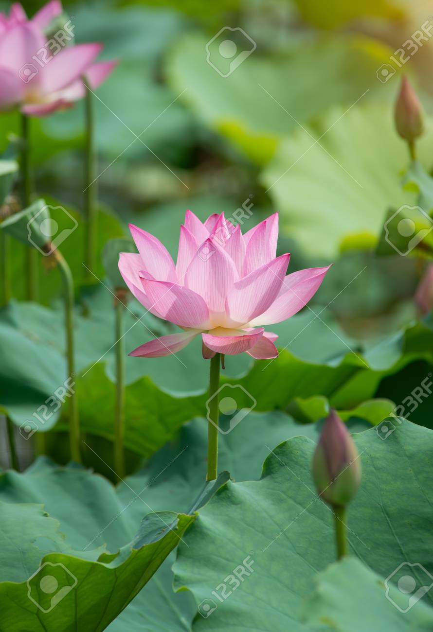Blooming lotus flower stock photo picture and royalty free image blooming lotus flower stock photo 67371244 izmirmasajfo